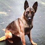 【悲報】警察犬に噛みついた男、電気ショックのテーザー銃で撃たれる