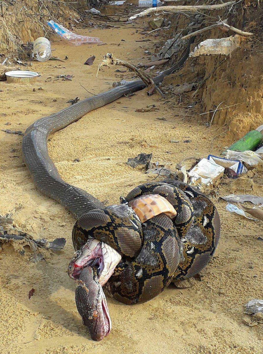 【画像】キングコブラとニシキヘビ、相討ちで死亡