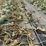 除草剤撒かれたメロン農家、クラウドファンディングで1日900万円集める