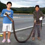 【画像】小学生2人、3mのウツボ捕獲 地元の老人「昔は時々見掛けた」