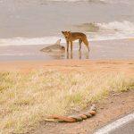 【画像】オーストラリア、ビーチでイヌがサメを襲い、その横でヘビが交尾する無法地帯だった