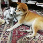 【画像】イッヌ、aiboと仲良くなる