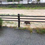 【画像】京都鴨川、大雨で天然の動物園になるwww