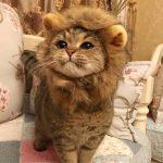 【画像】猫、やはりライオンの親戚だった