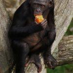 元京大院生の女性、類人猿ボノボ同士の喧嘩により落下した枝が頭に直撃して下半身まひ 京都大や担当教授を提訴