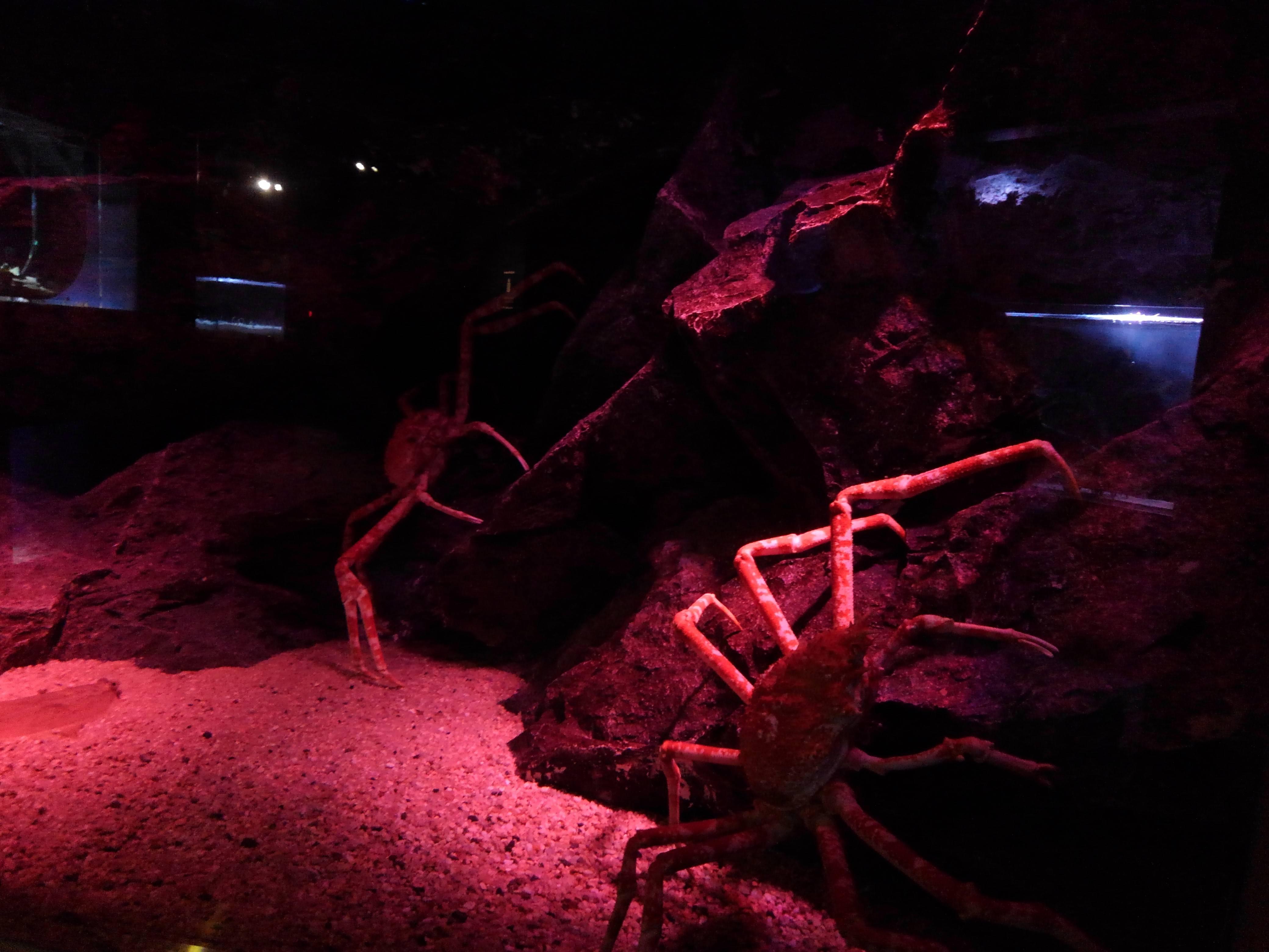【画像】水族館でタカアシガニ水槽に着いたときの緊張感