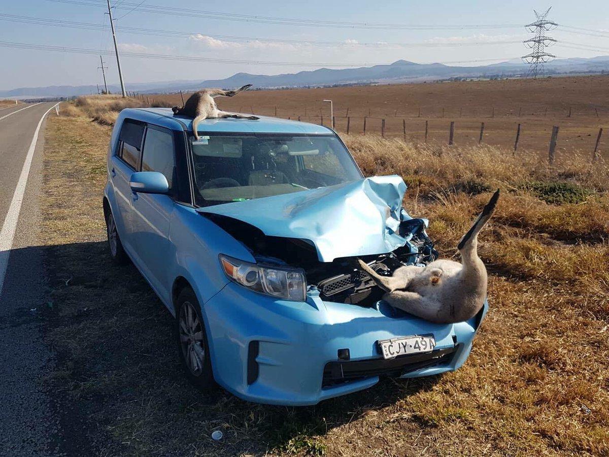 【画像】カンガルー、車と衝突 とんでもない姿で逝く