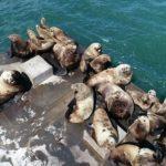 【画像】北海道の港にトドが住みつく