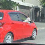 【画像】イッヌ、車を運転する