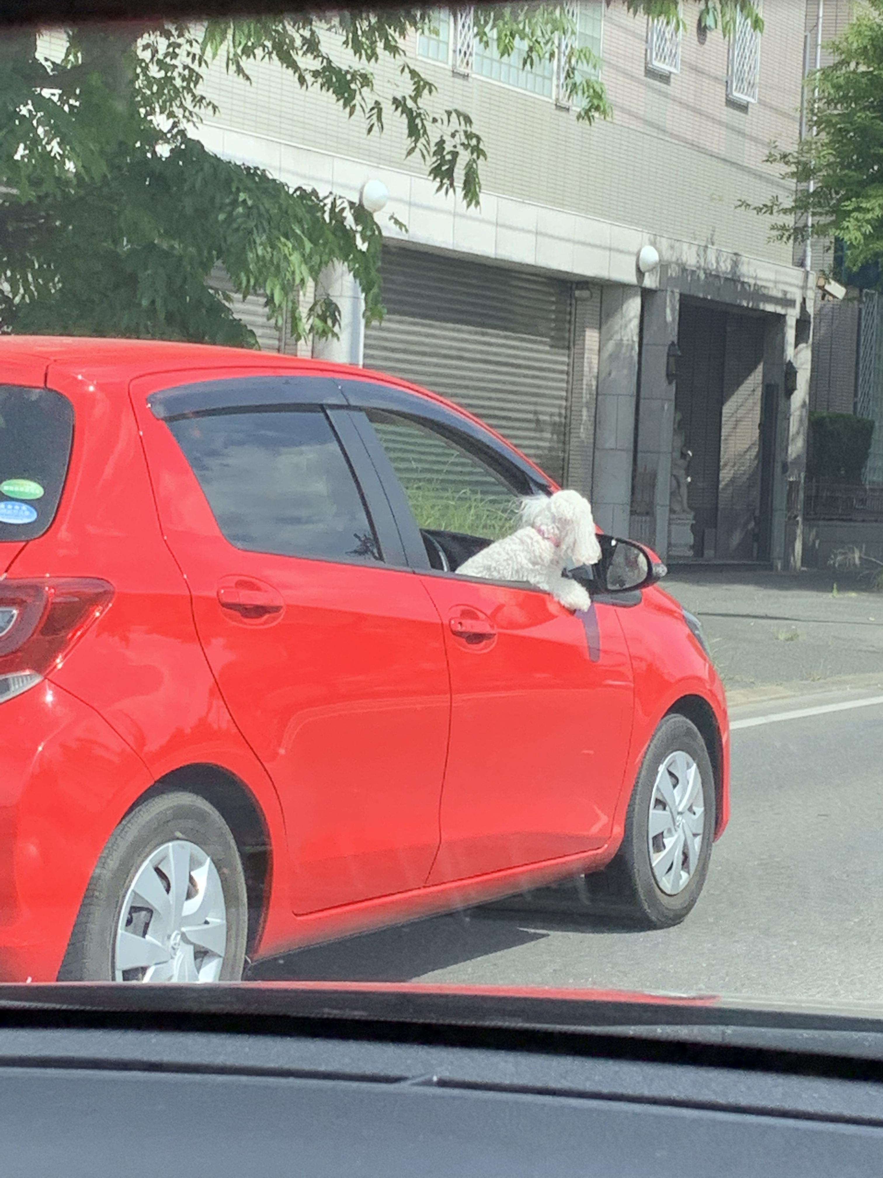【画像】イッヌ、車を運転するw