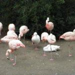 【画像】鳩「フラミンゴの群れに紛れ込んでしもた...せや!」