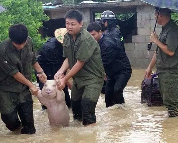 【画像】溺れてた豚さん、助けられる