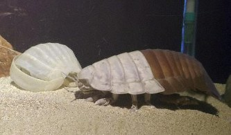 【画像】ダイオウグソクムシ、脱皮に失敗して死亡