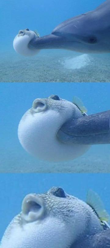 【画像】イルカに突進されて凹むフグをご覧ください