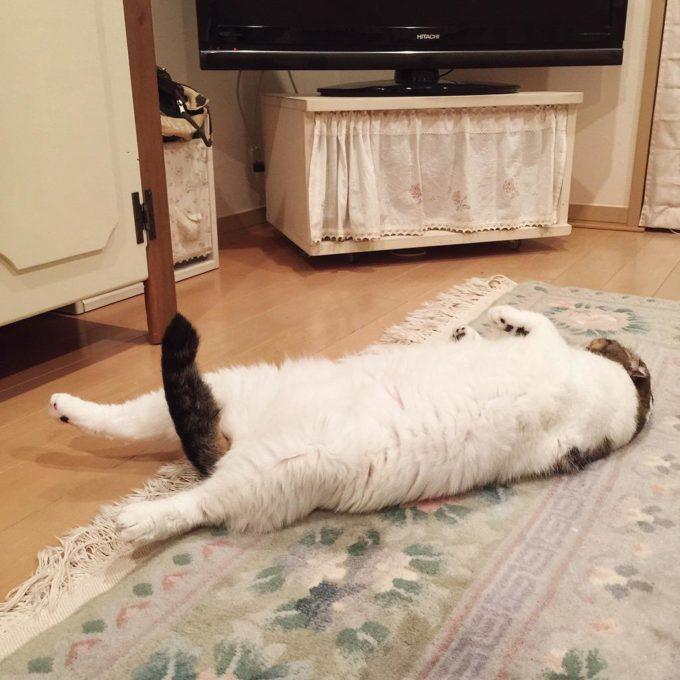 【画像】勃起した猫w