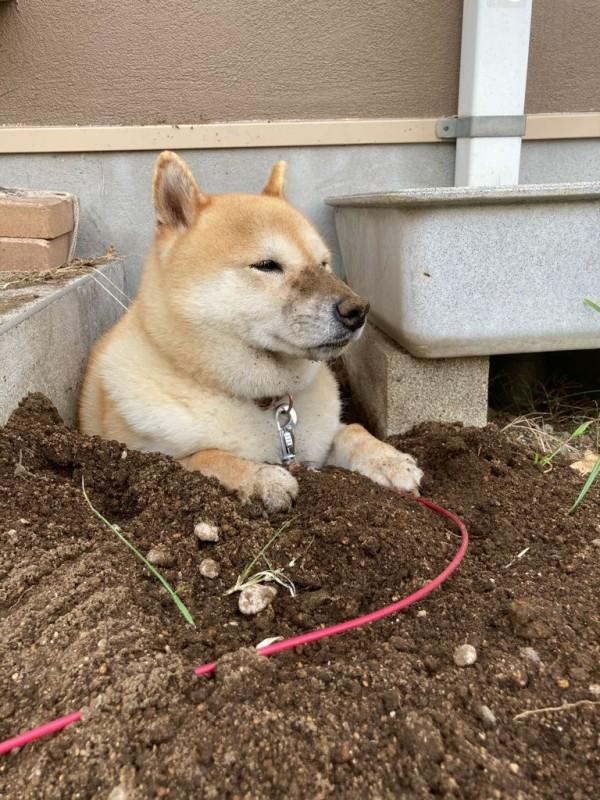 【画像】イッヌさん、穴を掘ってたたずむ