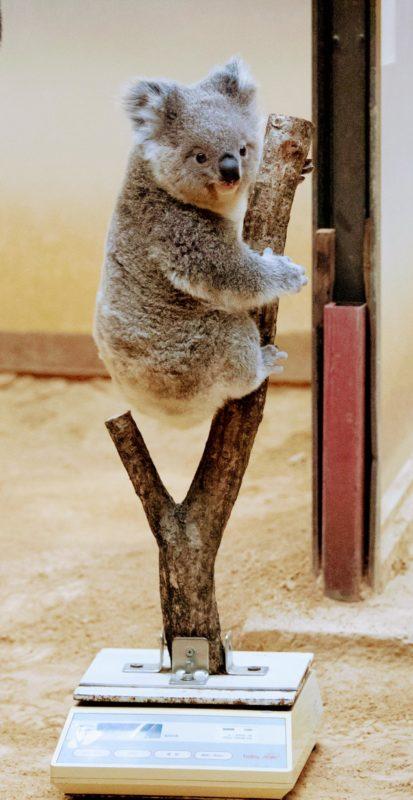 【画像】コアラ、体重を計測されてしまう