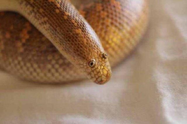 【画像】なんJ民みたいなヘビ、発見される