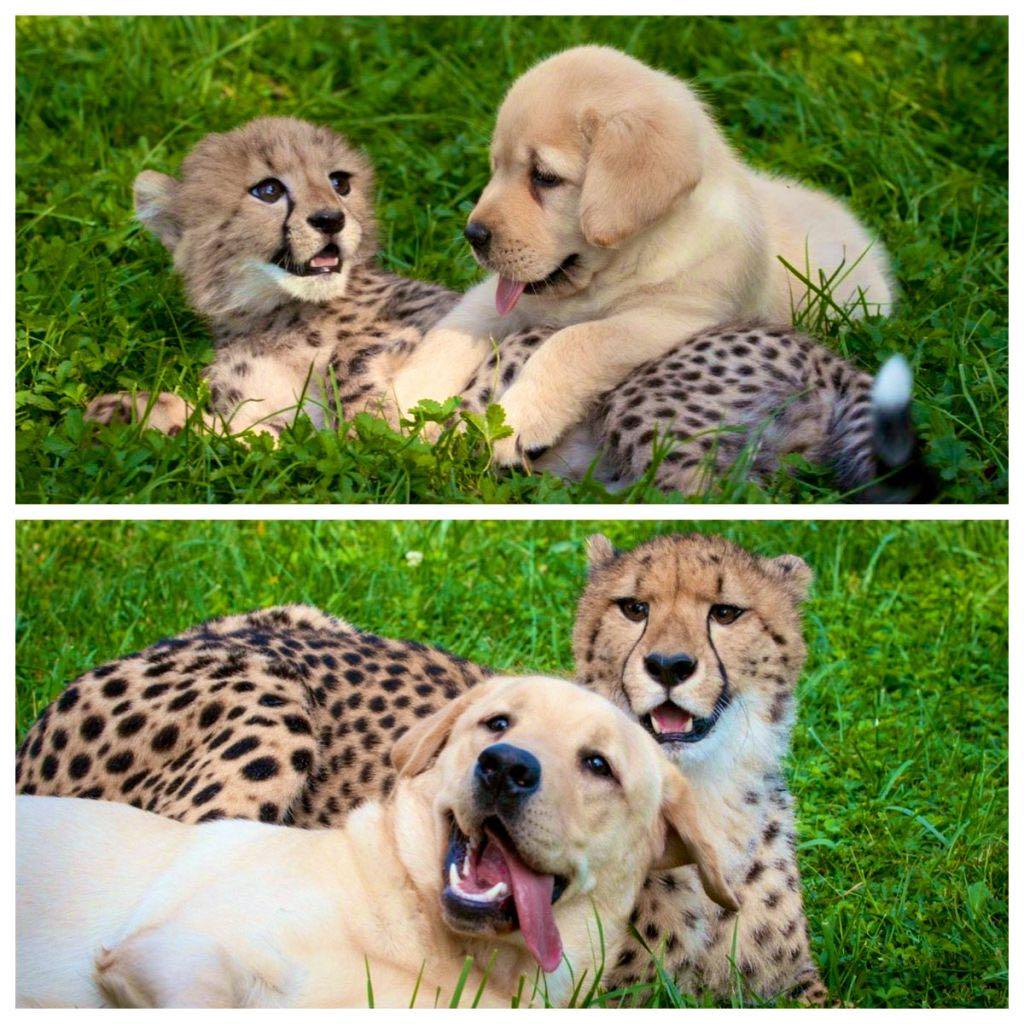 【画像】イッヌとチーター、友情を育んでしまうwww