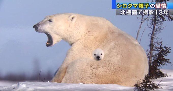 【画像】明らかに合成の子シロクマ見つかるwww
