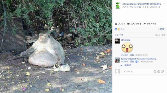 【画像】人間がジャンクフードを与えまくってデブになった野生の猿www