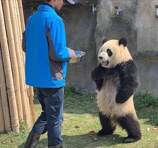 【画像】アスカみたいなパンダが発見されるwwwww