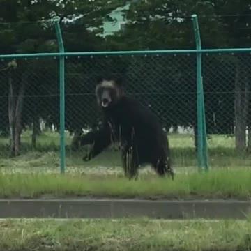 【画像】札幌の街中で大暴れしたヒグマ、ヤバすぎるwww