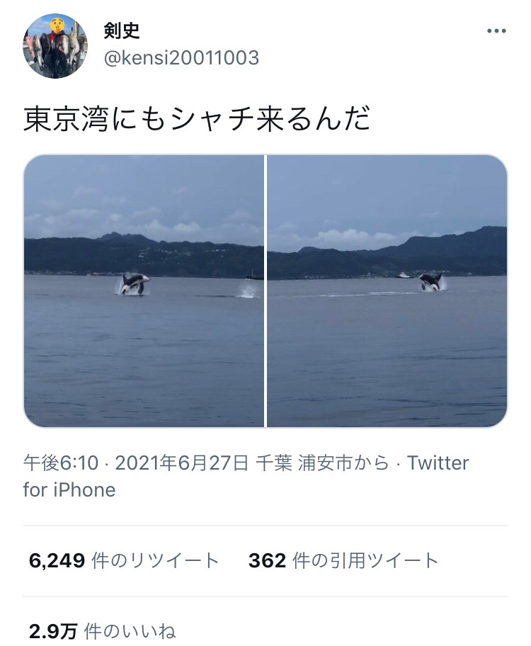 【画像】東京湾にシャチ現るwwwww