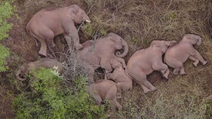 【画像】中国のゾウの群れ、もう限界