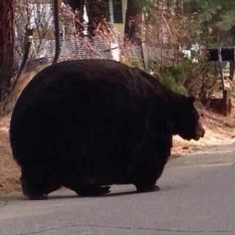 【画像】豚の貯金箱みたいなクマが見つかるwwwwww
