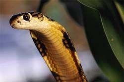 ヘビ異常愛好家、キングコブラに毒殺される