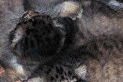 【とってもかわいい赤ちゃん画像】 小型のヤマネコ「マヌルネコ」自然繁殖に成功