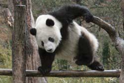 【中国】「野良パンダ」にかまれた男性に賠償金1000万円