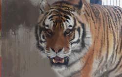 校庭に虎が入ってきただけで盛り上がったよな