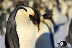 【画像】ペンギン型ロボット、スパイとしてペンギンの群れに紛れこむ