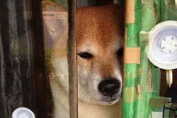 【画像】東京のタバコ屋で働く柴犬シバ君の働きっぷりが可愛いと世界で話題に