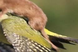 【画像】キツツキが背中にイタチを乗せて飛行する事案が発生